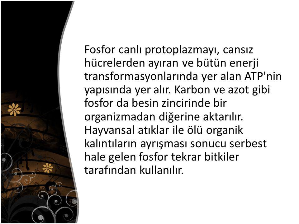Fosfor canlı protoplazmayı, cansız hücrelerden ayıran ve bütün enerji transformasyonlarında yer alan ATP nin yapısında yer alır.