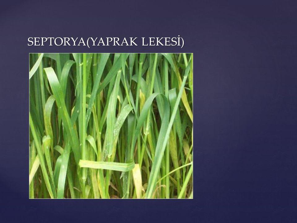 SEPTORYA(YAPRAK LEKESİ)