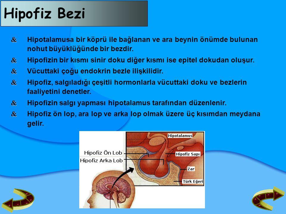 Hipofiz Bezi  Hipotalamusa bir köprü ile bağlanan ve ara beynin önümde bulunan nohut büyüklüğünde bir bezdir.