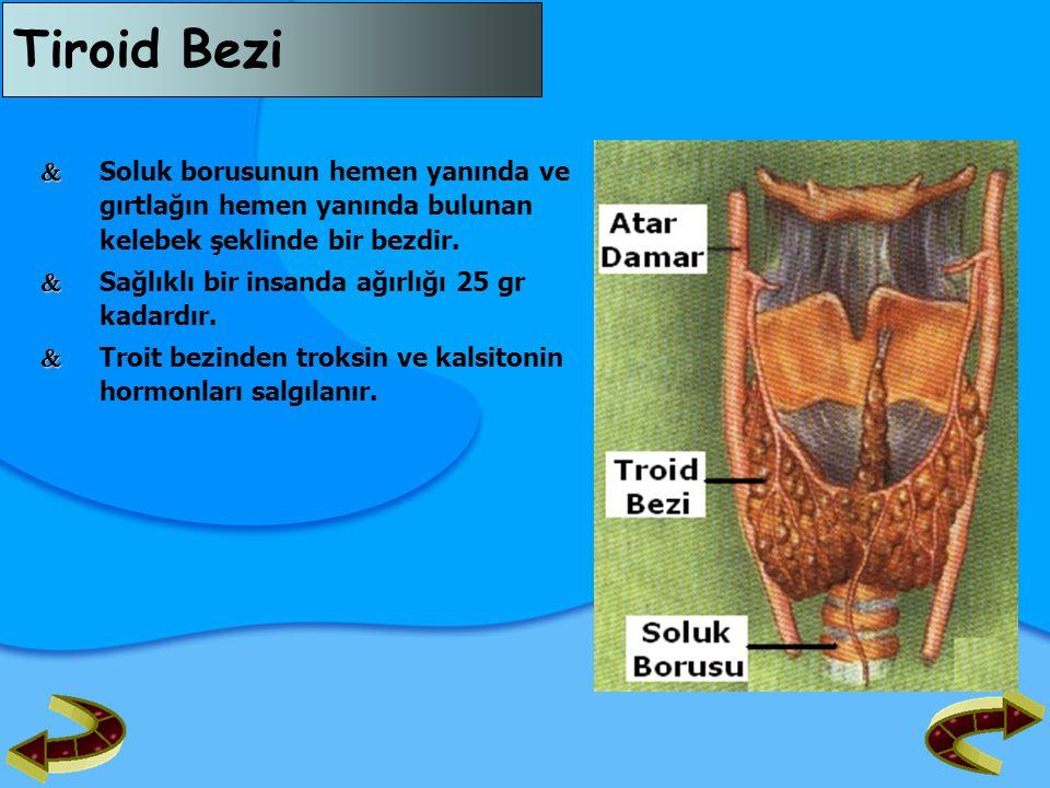 Tiroid Bezi  Soluk borusunun hemen yanında ve gırtlağın hemen yanında bulunan kelebek şeklinde bir bezdir.
