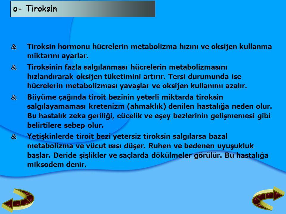 a- Tiroksin  Tiroksin hormonu hücrelerin metabolizma hızını ve oksijen kullanma miktarını ayarlar.
