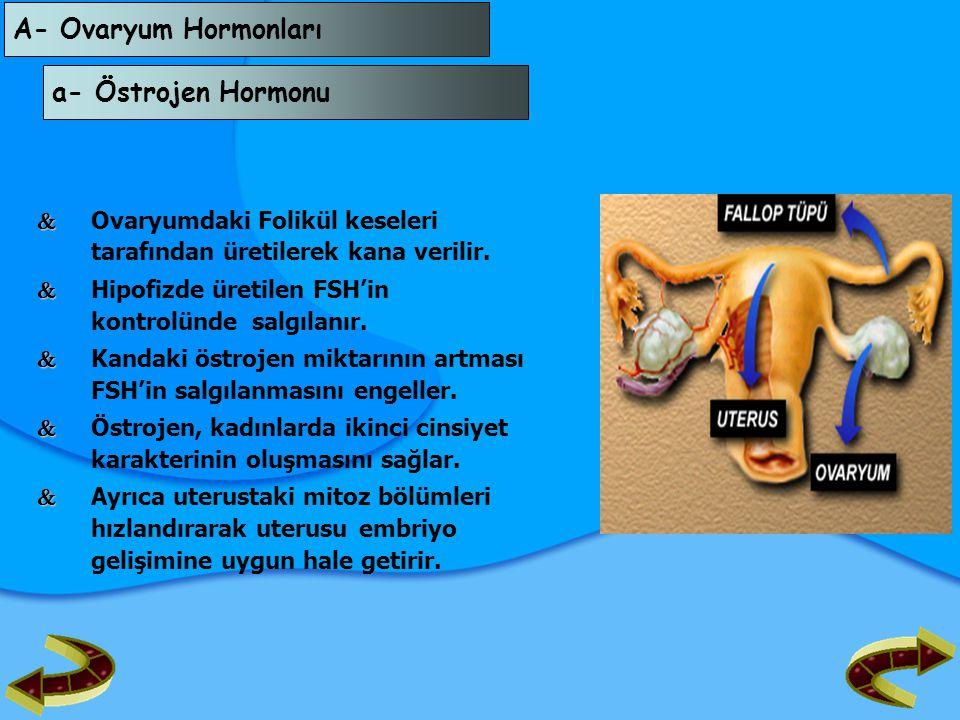 A- Ovaryum Hormonları a- Östrojen Hormonu