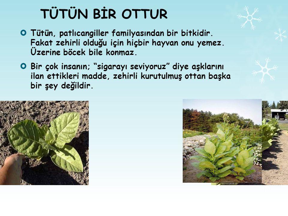 TÜTÜN BİR OTTUR Tütün, patlıcangiller familyasından bir bitkidir. Fakat zehirli olduğu için hiçbir hayvan onu yemez. Üzerine böcek bile konmaz.