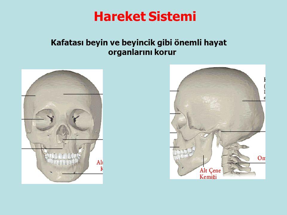 Hareket Sistemi Kafatası beyin ve beyincik gibi önemli hayat organlarını korur.