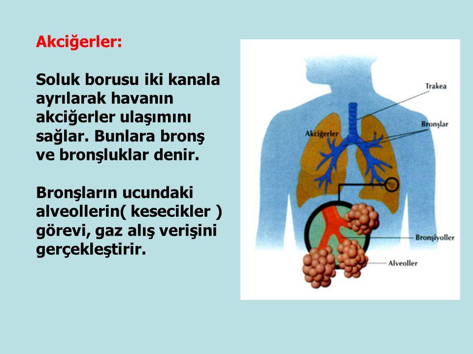 Akciğerler: Soluk borusu iki kanala ayrılarak havanın akciğerler ulaşımını sağlar. Bunlara bronş ve bronşluklar denir.