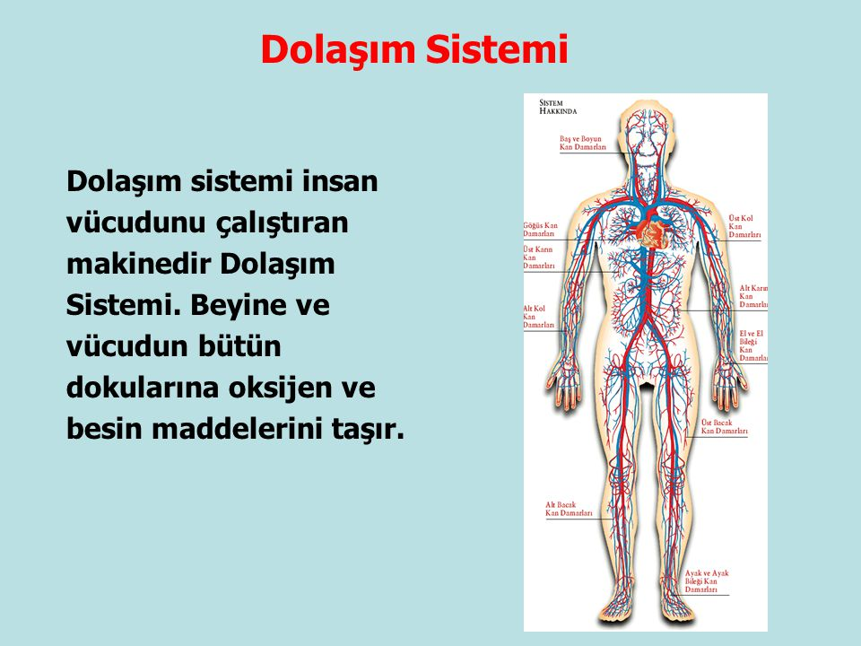 Dolaşım Sistemi Dolaşım sistemi insan vücudunu çalıştıran