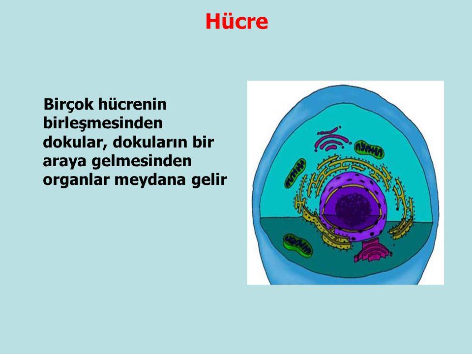 Hücre Birçok hücrenin birleşmesinden dokular, dokuların bir araya gelmesinden organlar meydana gelir.