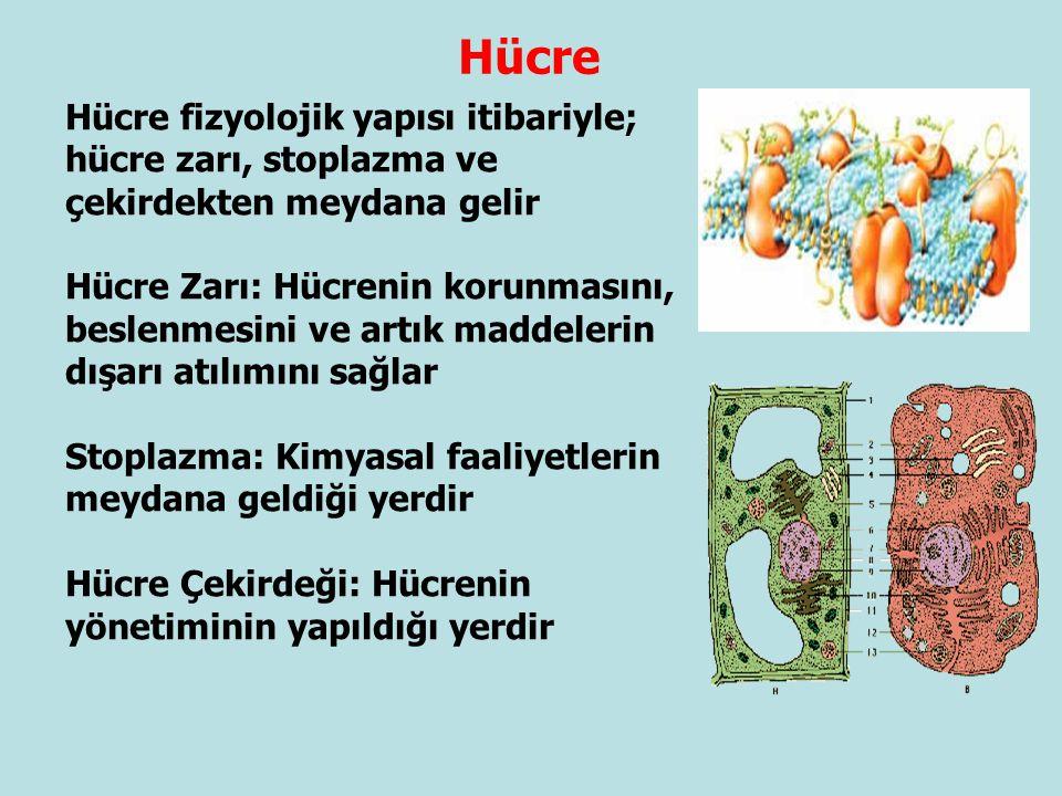 Hücre Hücre fizyolojik yapısı itibariyle; hücre zarı, stoplazma ve çekirdekten meydana gelir.