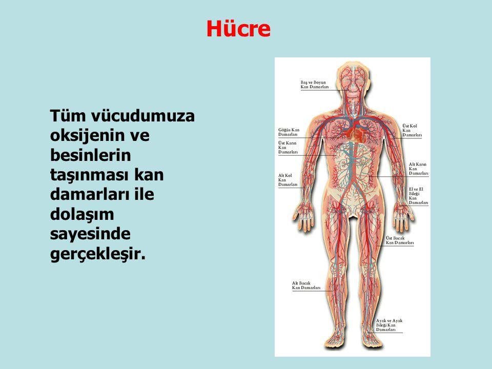 Hücre Tüm vücudumuza oksijenin ve besinlerin taşınması kan damarları ile dolaşım sayesinde gerçekleşir.