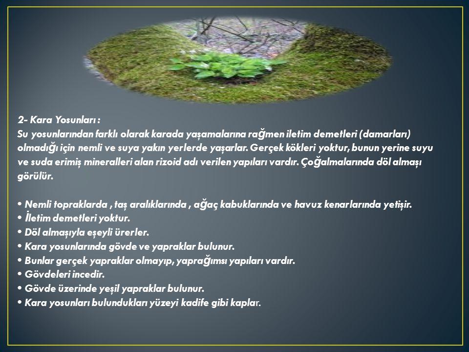 2- Kara Yosunları : Su yosunlarından farklı olarak karada yaşamalarına rağmen iletim demetleri (damarları) olmadığı için nemli ve suya yakın yerlerde yaşarlar.