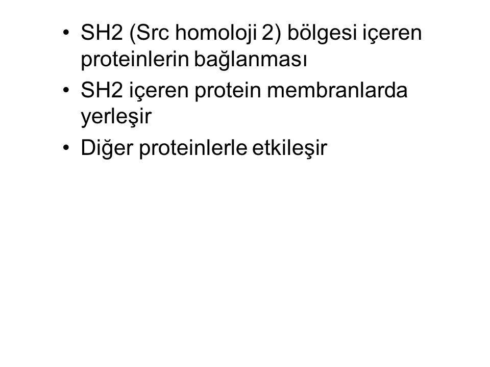 SH2 (Src homoloji 2) bölgesi içeren proteinlerin bağlanması