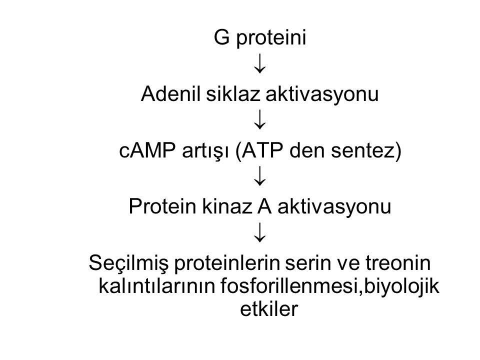 Adenil siklaz aktivasyonu cAMP artışı (ATP den sentez)