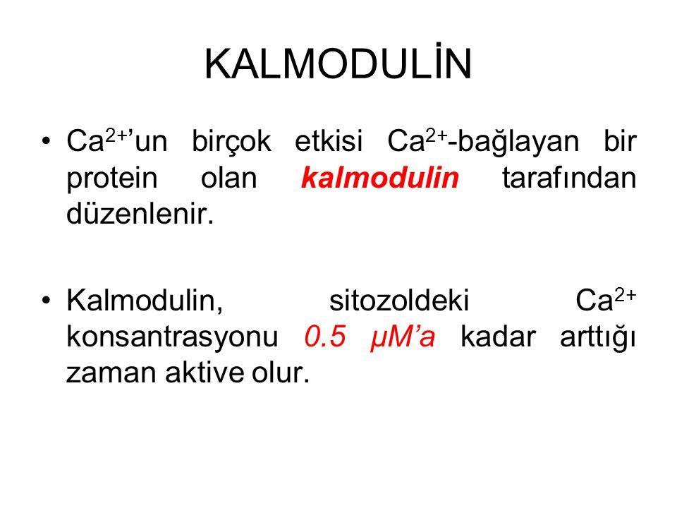 KALMODULİN Ca2+'un birçok etkisi Ca2+-bağlayan bir protein olan kalmodulin tarafından düzenlenir.