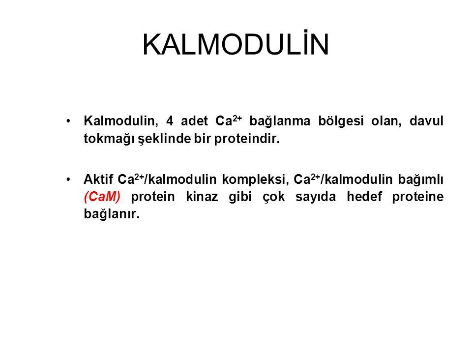 KALMODULİN Kalmodulin, 4 adet Ca2+ bağlanma bölgesi olan, davul tokmağı şeklinde bir proteindir.