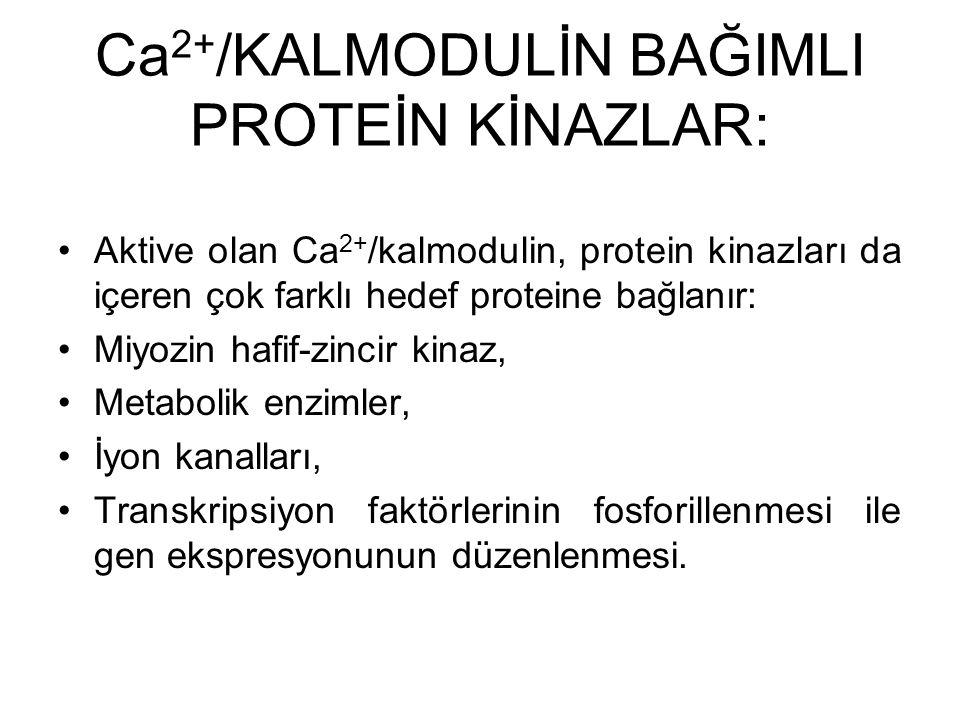 Ca2+/KALMODULİN BAĞIMLI PROTEİN KİNAZLAR: