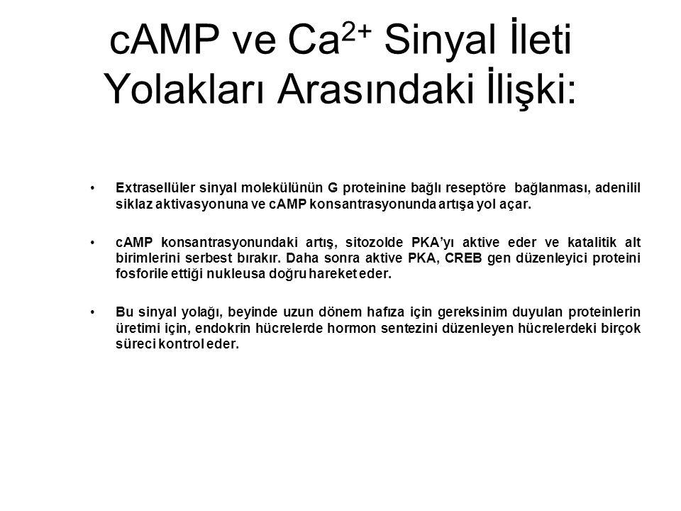 cAMP ve Ca2+ Sinyal İleti Yolakları Arasındaki İlişki: