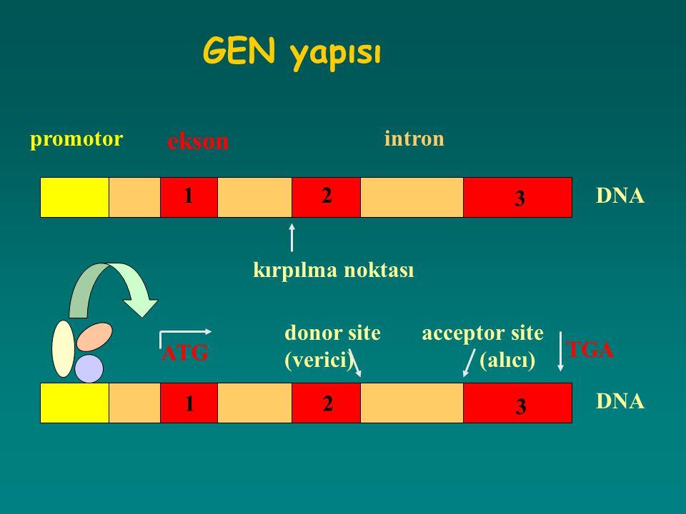 GEN yapısı ekson promotor intron DNA 1 2 3 kırpılma noktası