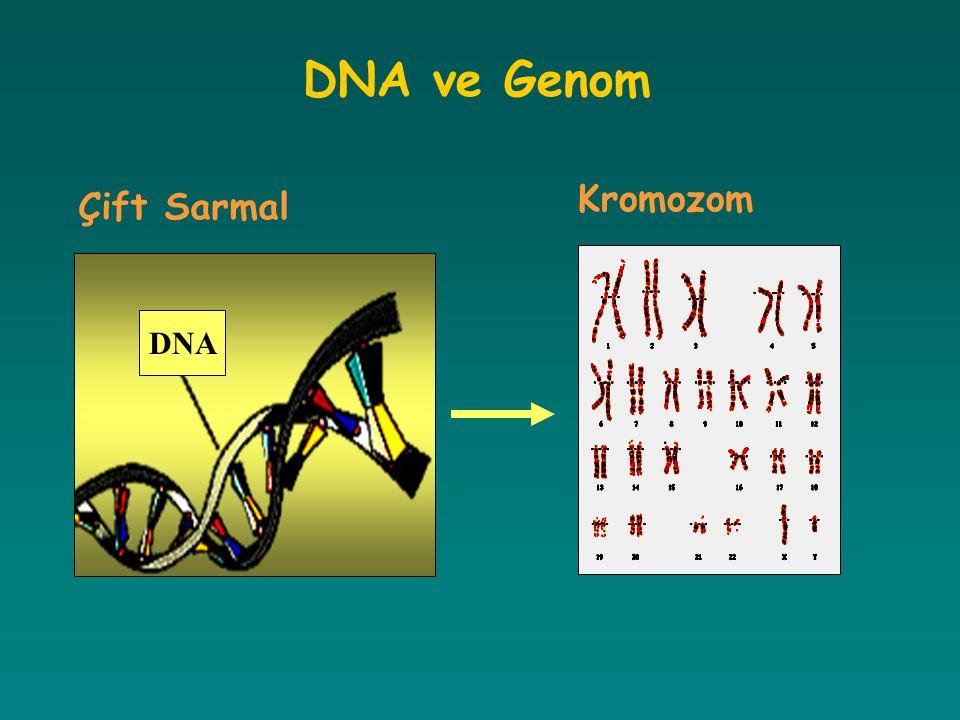 DNA ve Genom Kromozom Çift Sarmal DNA