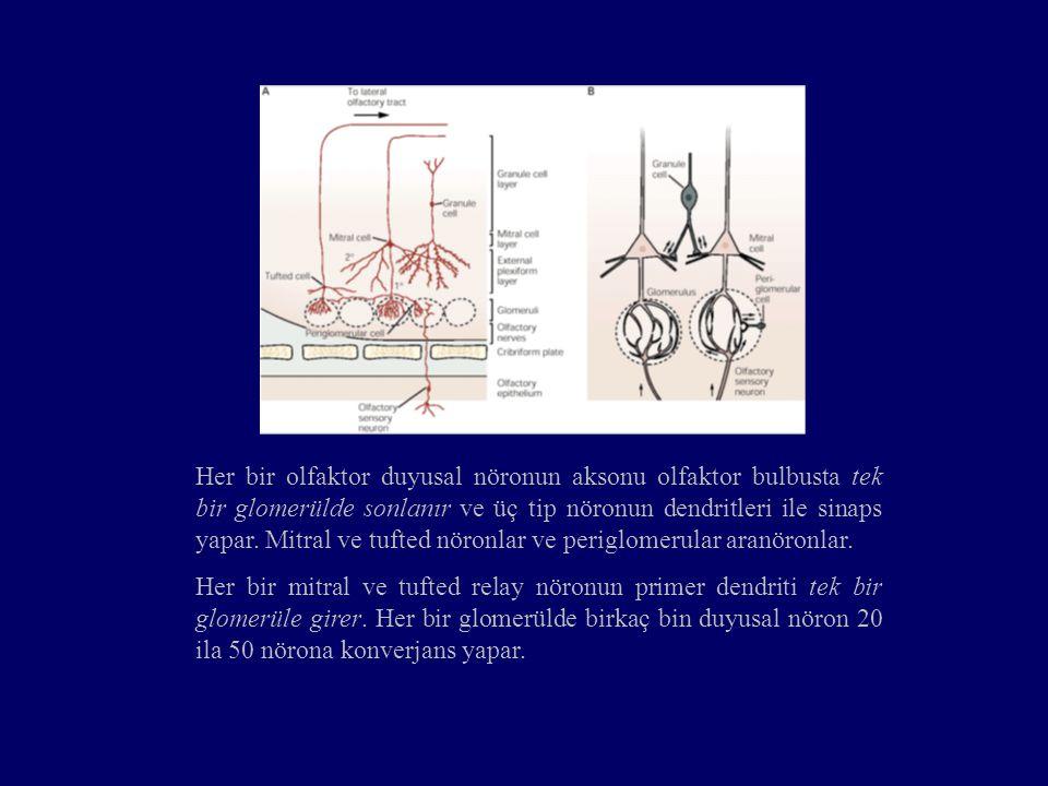 Her bir olfaktor duyusal nöronun aksonu olfaktor bulbusta tek bir glomerülde sonlanır ve üç tip nöronun dendritleri ile sinaps yapar. Mitral ve tufted nöronlar ve periglomerular aranöronlar.