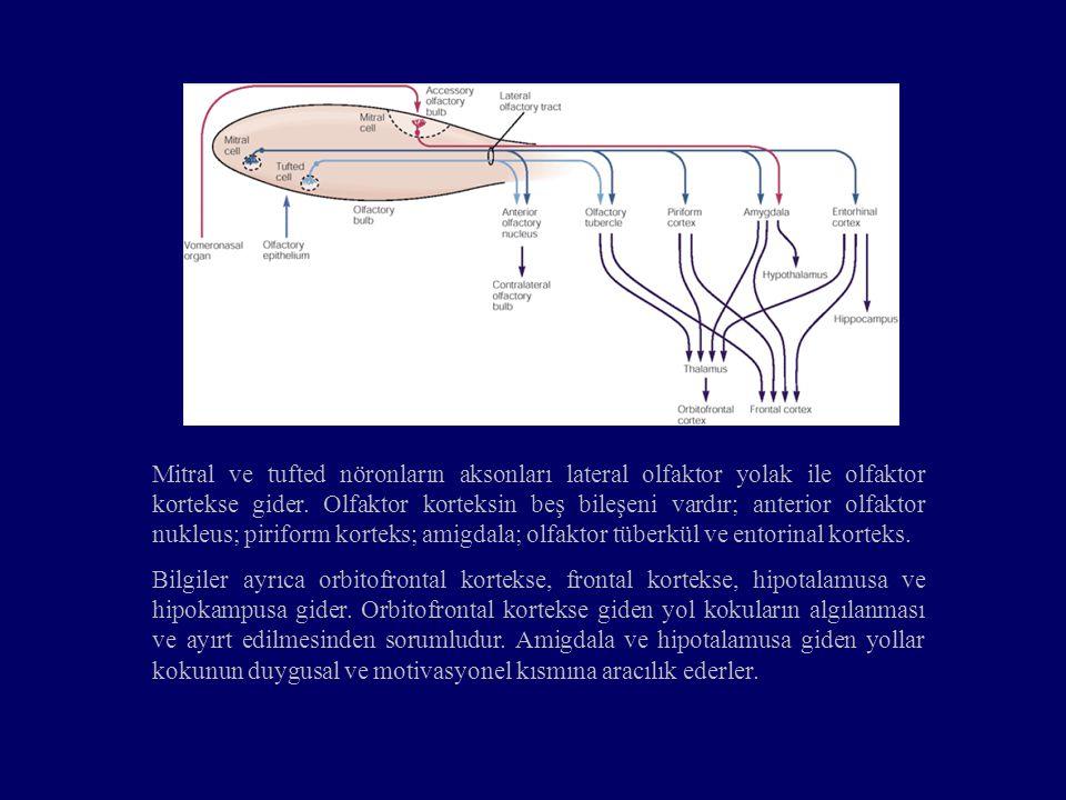 Mitral ve tufted nöronların aksonları lateral olfaktor yolak ile olfaktor kortekse gider. Olfaktor korteksin beş bileşeni vardır; anterior olfaktor nukleus; piriform korteks; amigdala; olfaktor tüberkül ve entorinal korteks.