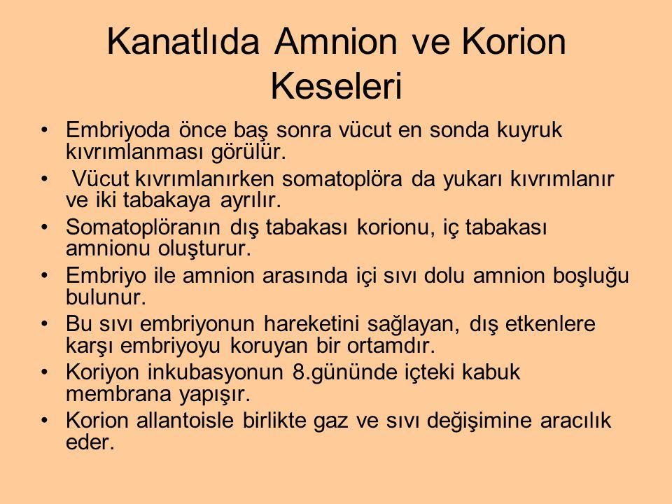Kanatlıda Amnion ve Korion Keseleri