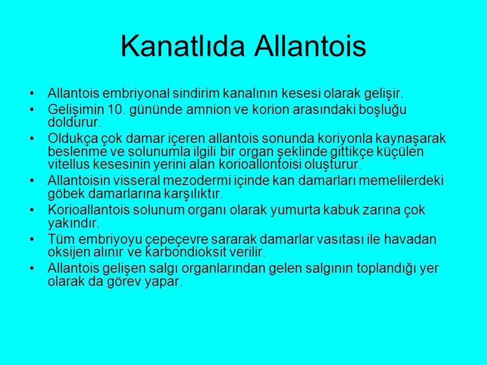 Kanatlıda Allantois Allantois embriyonal sindirim kanalının kesesi olarak gelişir.