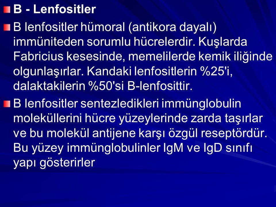 B - Lenfositler