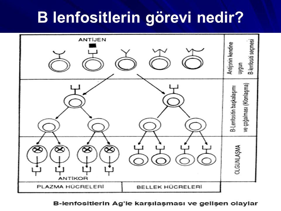B lenfositlerin görevi nedir