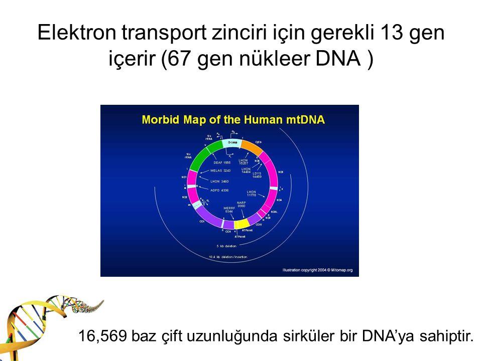 Elektron transport zinciri için gerekli 13 gen içerir (67 gen nükleer DNA )