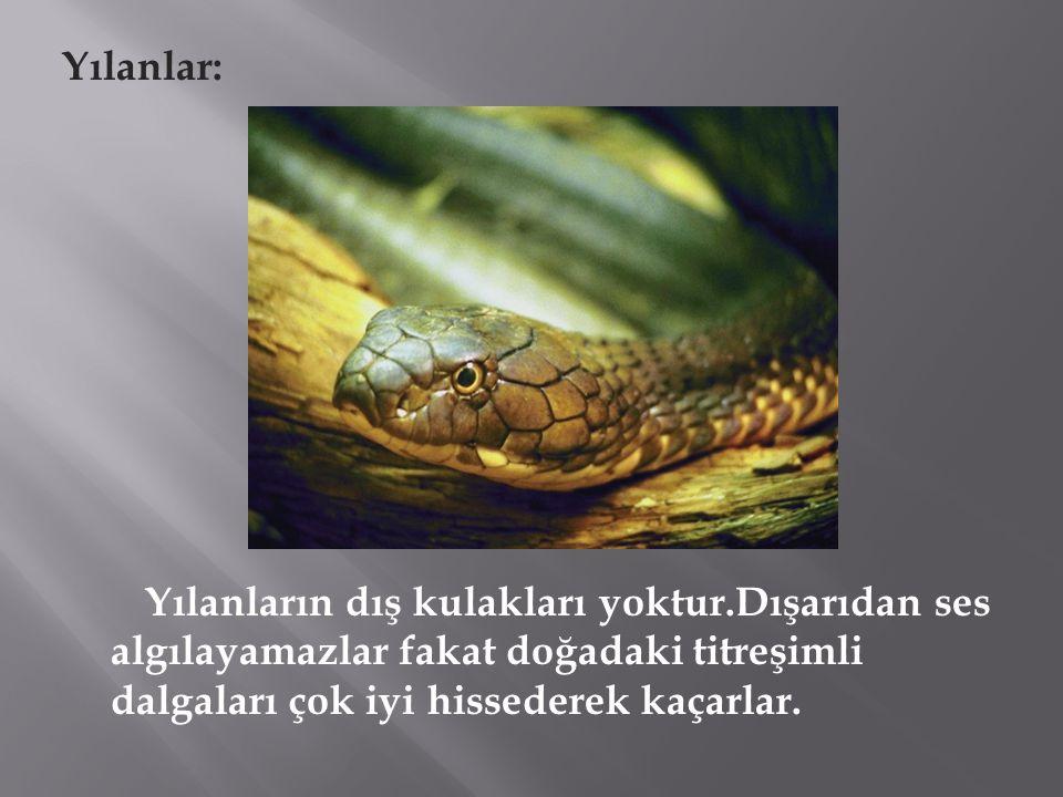 Yılanlar: Yılanların dış kulakları yoktur