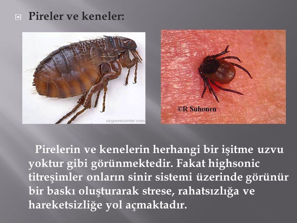 Pireler ve keneler: