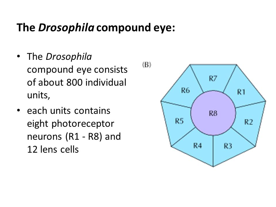 The Drosophila compound eye: