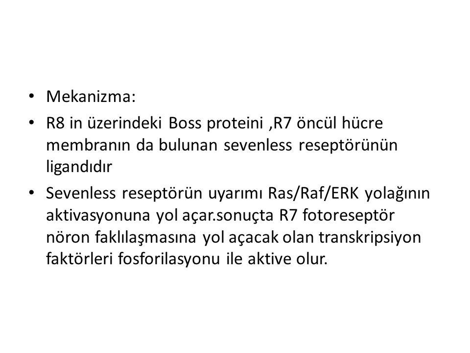 Mekanizma: R8 in üzerindeki Boss proteini ,R7 öncül hücre membranın da bulunan sevenless reseptörünün ligandıdır.