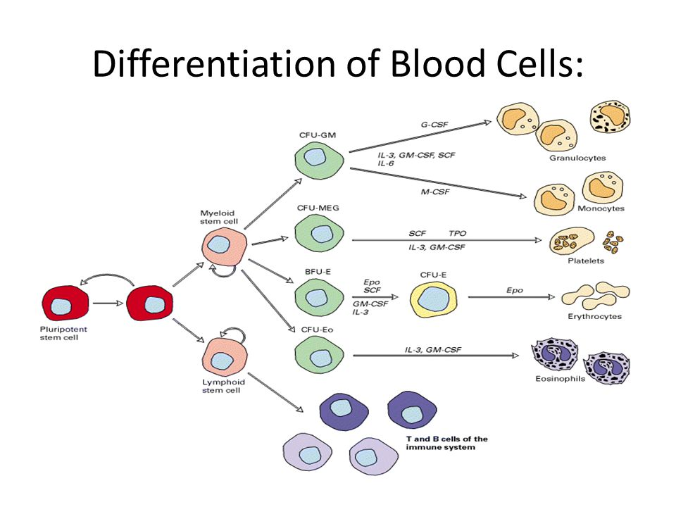 Differentiation of Blood Cells: