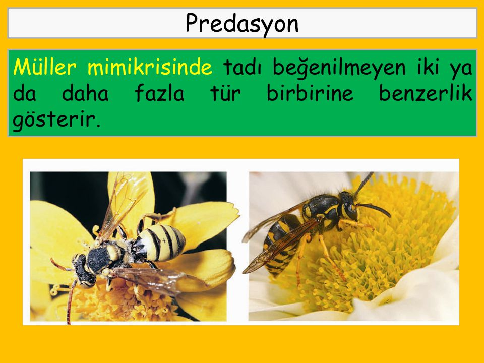Predasyon Müller mimikrisinde tadı beğenilmeyen iki ya da daha fazla tür birbirine benzerlik gösterir.