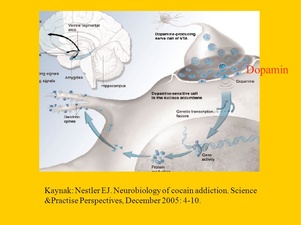 Dopamin Kaynak: Nestler EJ. Neurobiology of cocain addiction.