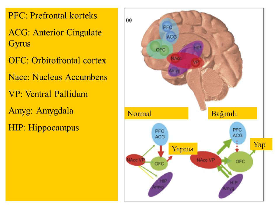 PFC: Prefrontal korteks ACG: Anterior Cingulate Gyrus