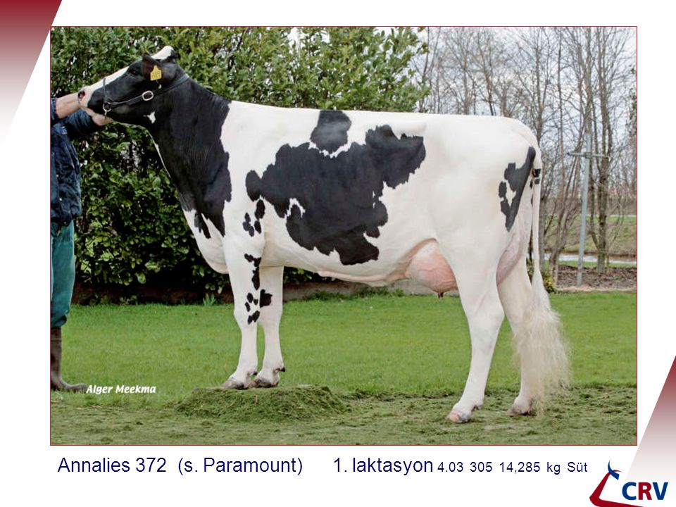 Annalies 372 (s. Paramount) 1. laktasyon 4.03 305 14,285 kg Süt