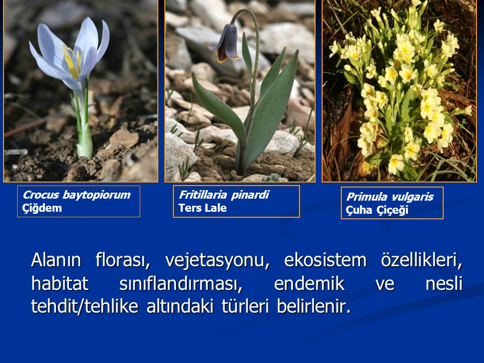 Crocus baytopiorum Çiğdem. Fritillaria pinardi. Ters Lale. Primula vulgaris. Çuha Çiçeği.