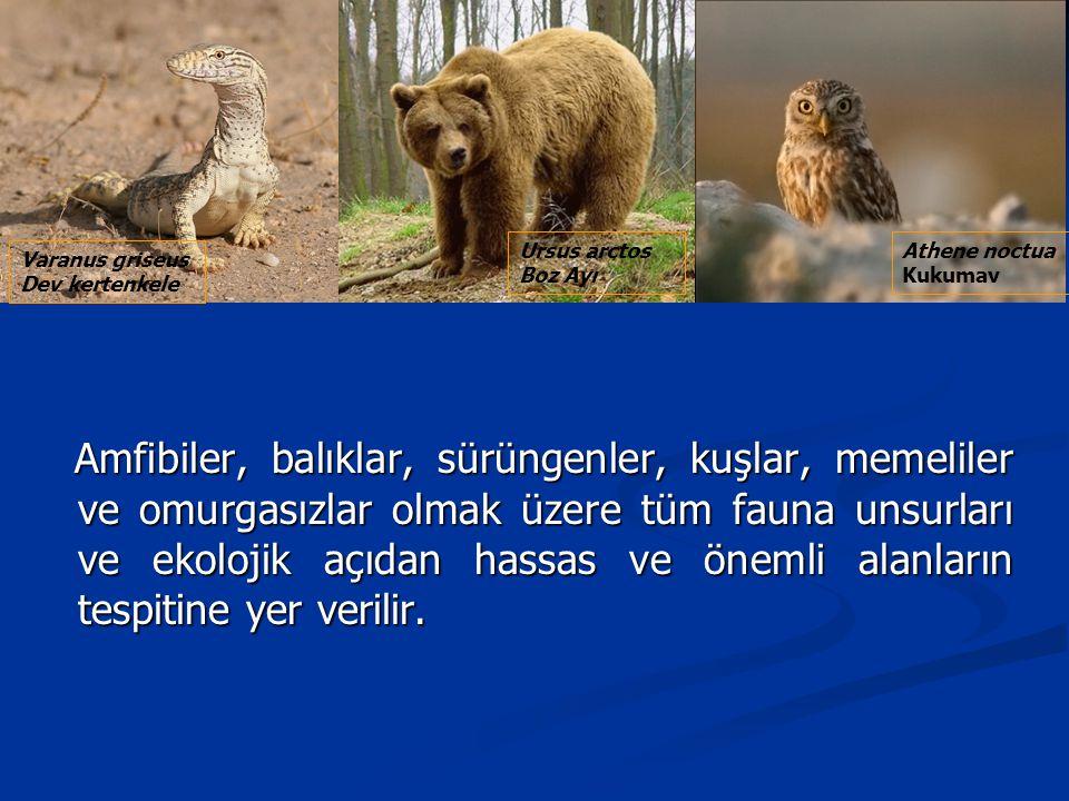 Ursus arctos Boz Ayı. Athene noctua. Kukumav. Varanus griseus. Dev kertenkele.