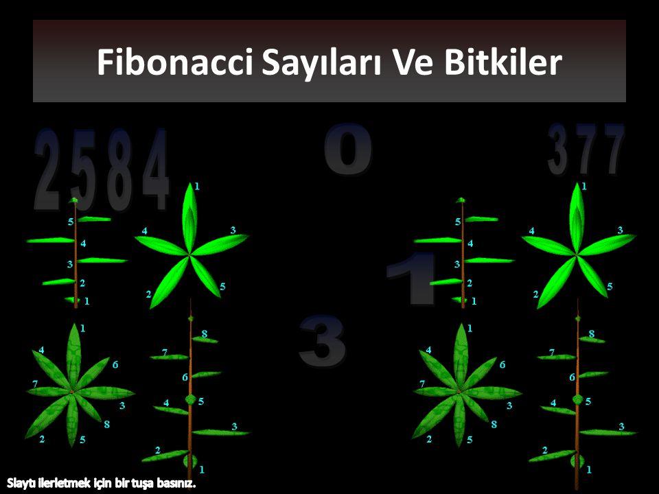 Fibonacci Sayıları Ve Bitkiler