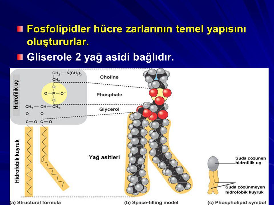 Fosfolipidler hücre zarlarının temel yapısını oluştururlar.