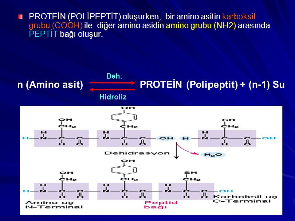 n (Amino asit) PROTEİN (Polipeptit) + (n-1) Su