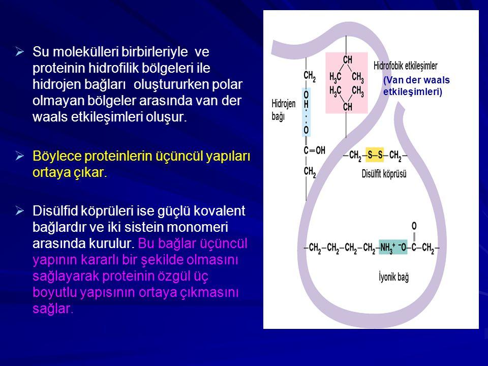 Böylece proteinlerin üçüncül yapıları ortaya çıkar.