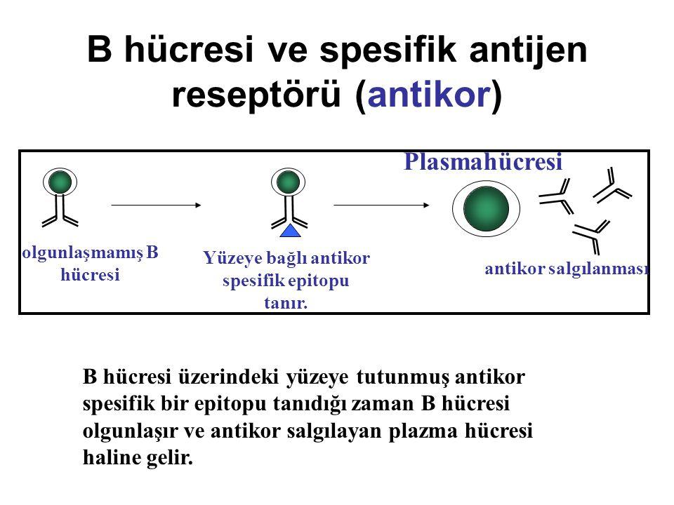 B hücresi ve spesifik antijen reseptörü (antikor)