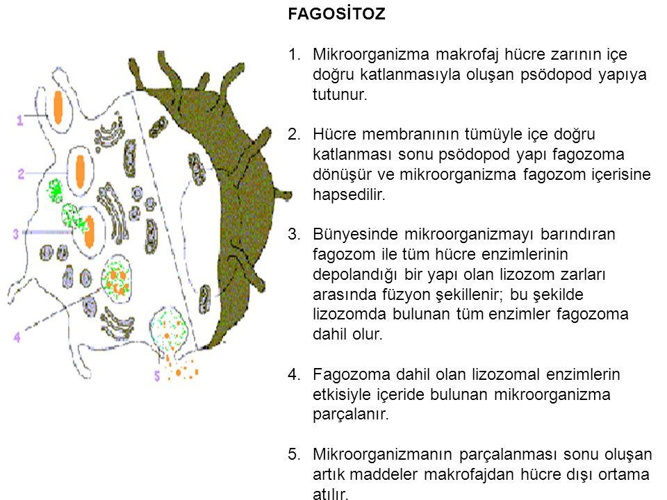 FAGOSİTOZ Mikroorganizma makrofaj hücre zarının içe doğru katlanmasıyla oluşan psödopod yapıya tutunur.