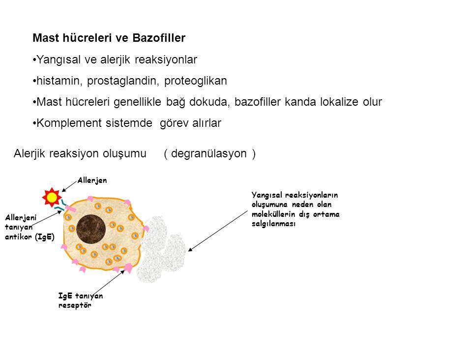 Mast hücreleri ve Bazofiller Yangısal ve alerjik reaksiyonlar