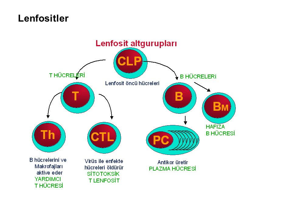 Lenfositler