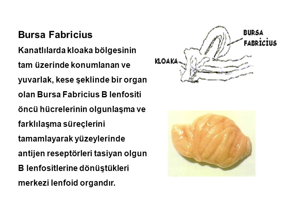 Bursa Fabricius Kanatlılarda kloaka bölgesinin