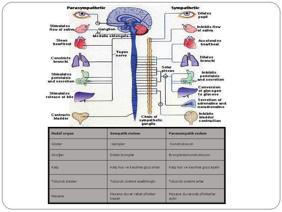Hedef organ Sempatik sistem. Parasempatik sistem. Gözler. Genişler. Konstrüksiyon. Akciğer. Dilate bronşlar.